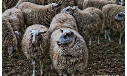 Die Schafherde ist wieder unterwegs